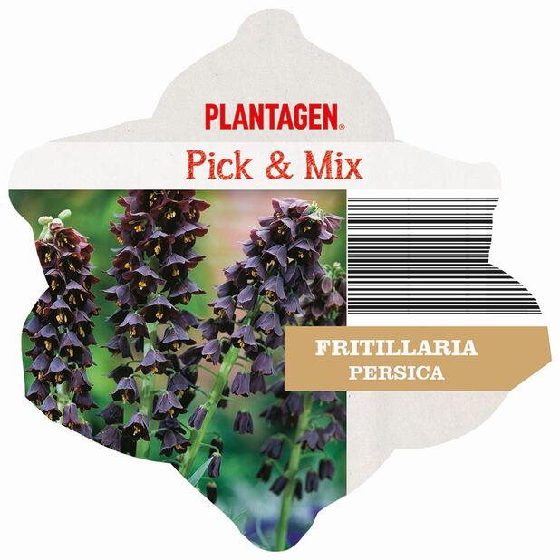 Persianpikarililja, Violetti