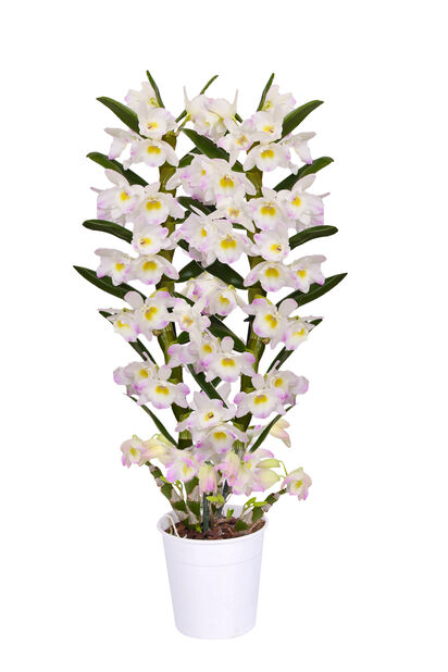 Dendrobium nobile 'Kumiko', Korkeus 40 cm, Monivärinen