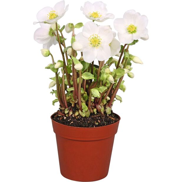 Jouluruusu 'Verboom Beauty', Ø10.5 cm, Valkoinen