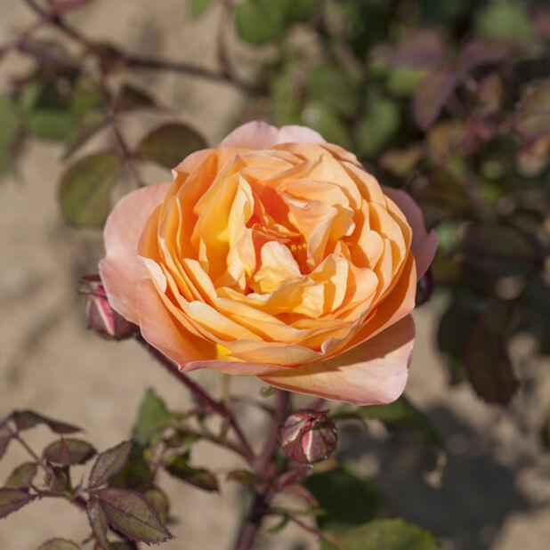 Austinruusu  'Lady Emma Hamilton', Ø23 cm, Oranssi