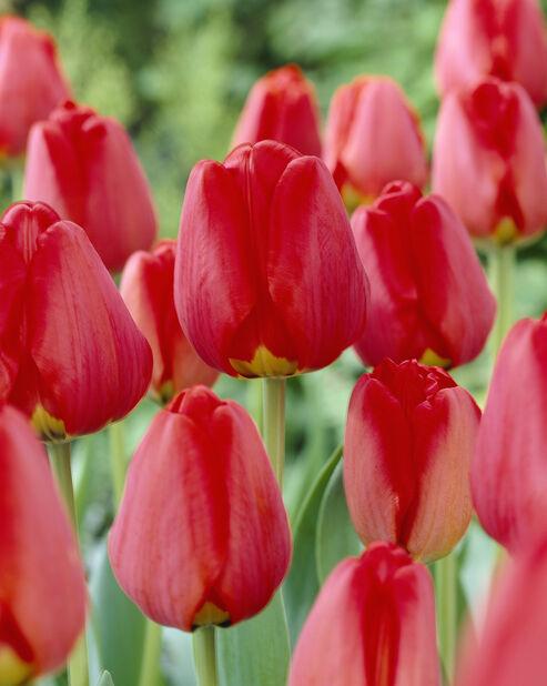 Tulppaani 'Apeldoorn', Useita värejä