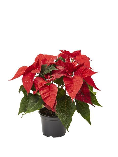 Joulutähti, Korkeus 30 cm, Punainen