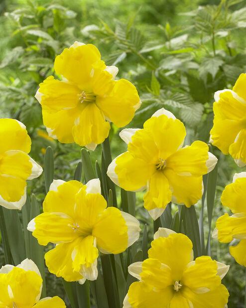 Narcissus 'Banana Daiquiri', Keltainen