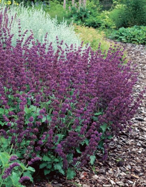 Kiehkurasalvia 'Purple Rain', Korkeus 15 cm, Violetti