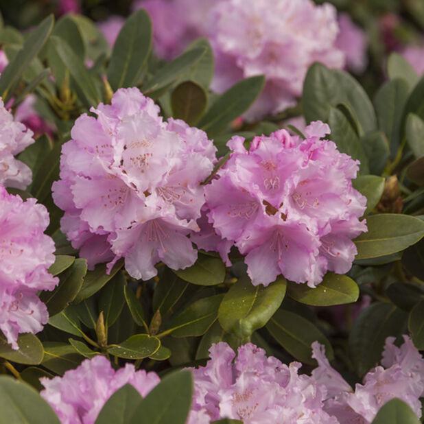Yakushimanalppiruusu 'Dreamland', Ø21 cm, Pinkki