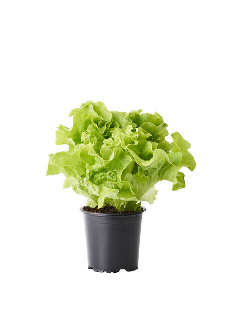 Salaatti 'Lollo', Ø10.5 cm, Vihreä
