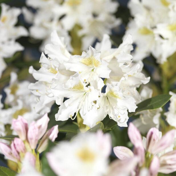 Valkoalppiruusu 'Cunningham's White' , Korkeus 40 cm, Valkoinen