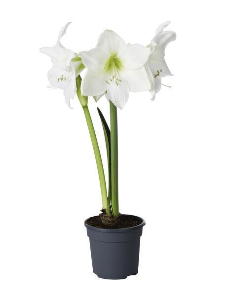Amaryllis 'Exclusive White' 17 cm
