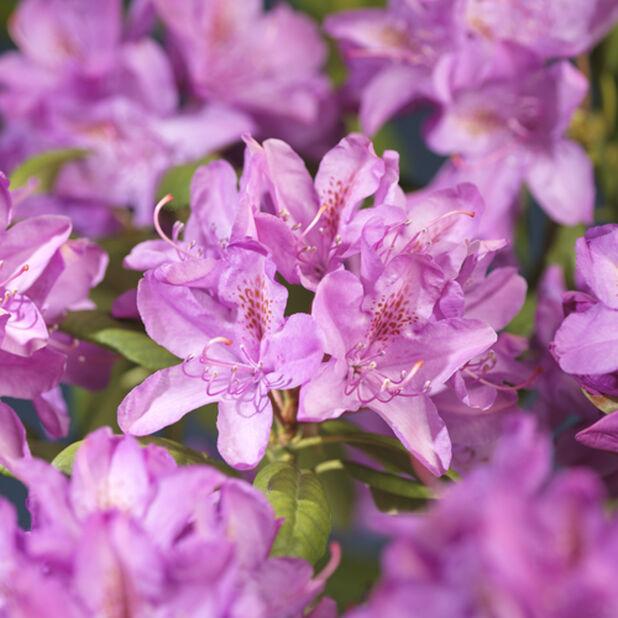 Puistoalppiruusu 'Roseum Elegans' , Ø17 cm, Pinkki