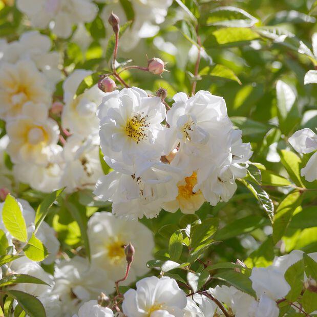 Tarhahelenanruusu  'Hybrida', Ø19 cm, Valkoinen