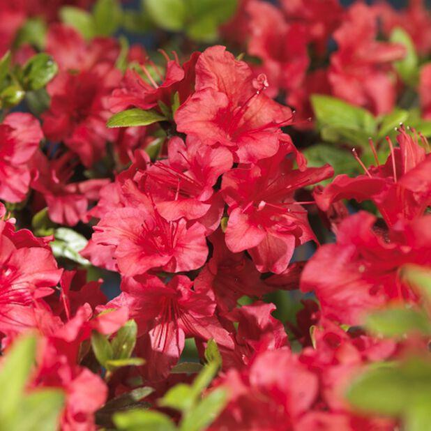 Japaninatsalea 'Johanna', Ø23 cm, Punainen