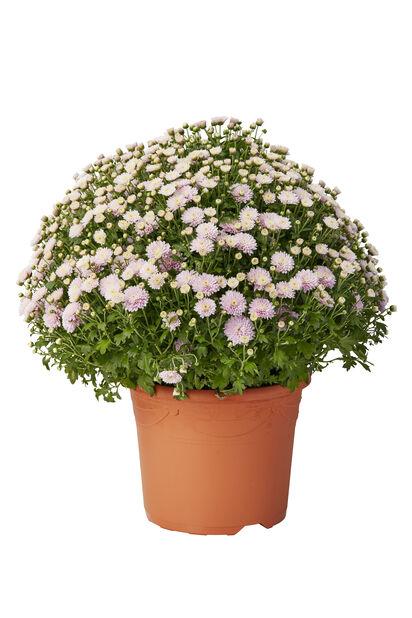 Pallokrysanteemi 'Magnum', Ø27 cm, Useita värejä