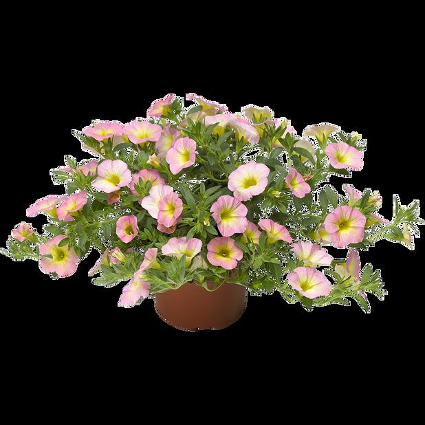 Petunia 'Pink Morn', Ø12 cm, Pinkki