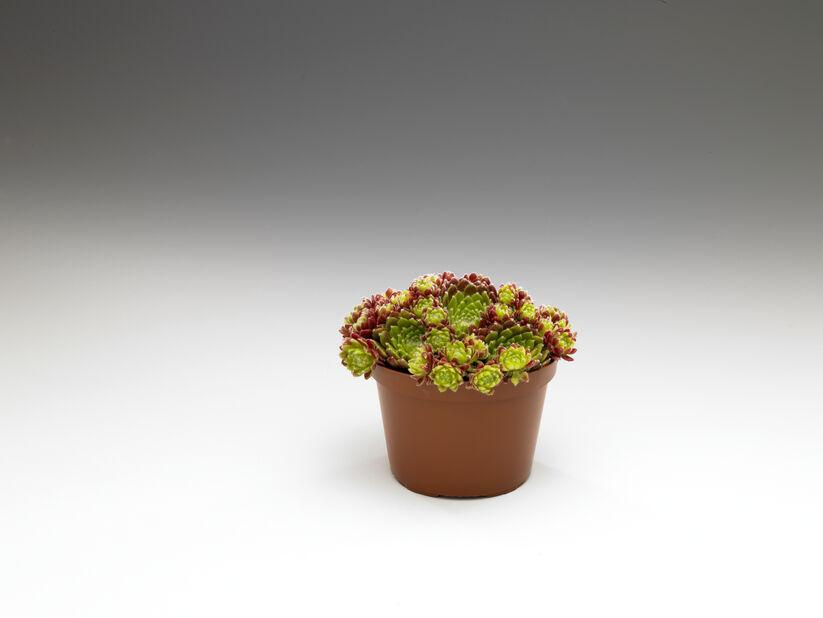 Kivikkokasvit 12 cm