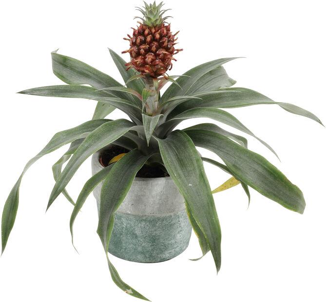 Ananas ruukussa, Korkeus 30 cm, Vihreä