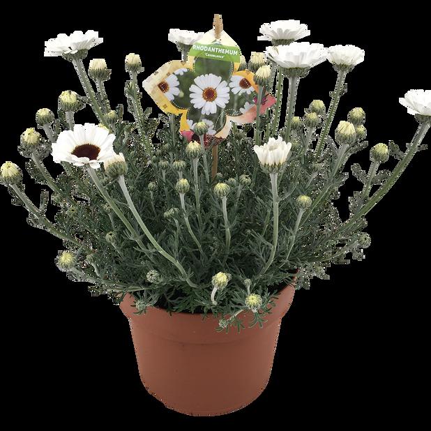 Rhodanthemum 'Casablanca', Ø19 cm, Valkoinen