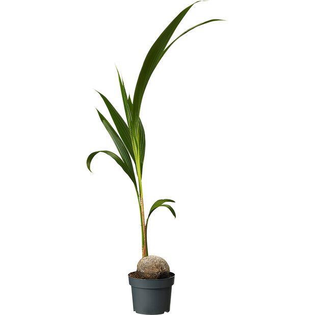 Kookospalmu, Korkeus 110 cm, Vihreä