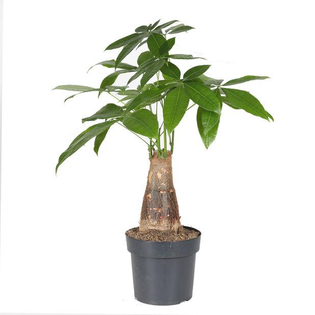 Kastanjasutipuu, Korkeus 55 cm, Vihreä