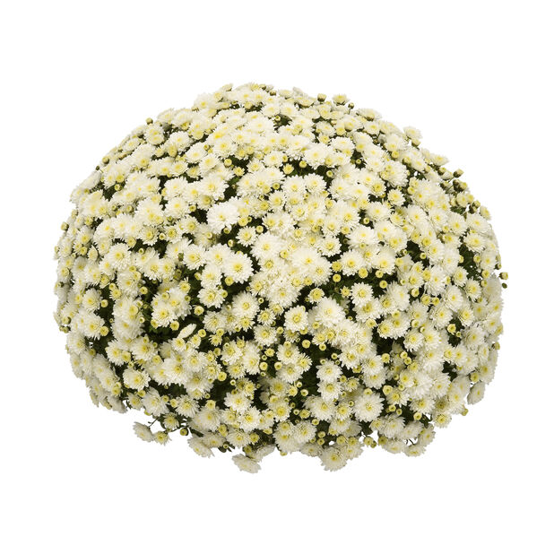 Chrysanthemum indicum 'White' 19 cm