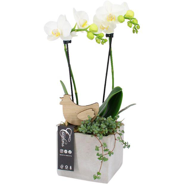 Pääsiäisistutus orkideasta, Korkeus 45 cm, Valkoinen