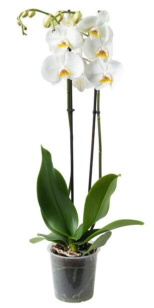 Perhosorkidea, Ø12 cm, Valkoinen