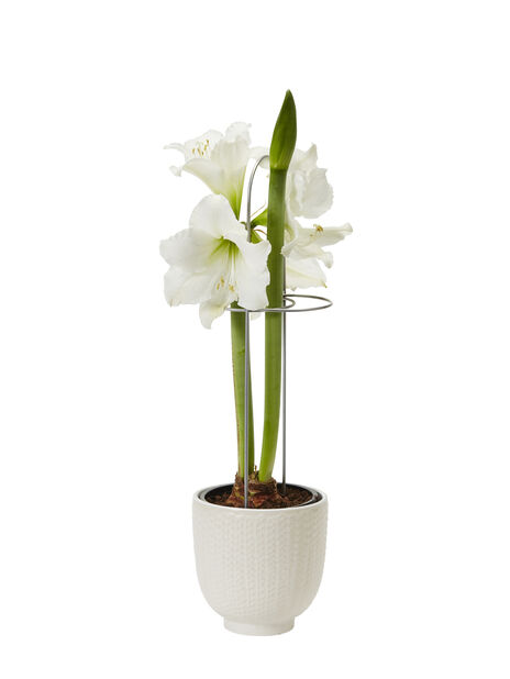 Amaryllis, Ø13 cm, Valkoinen