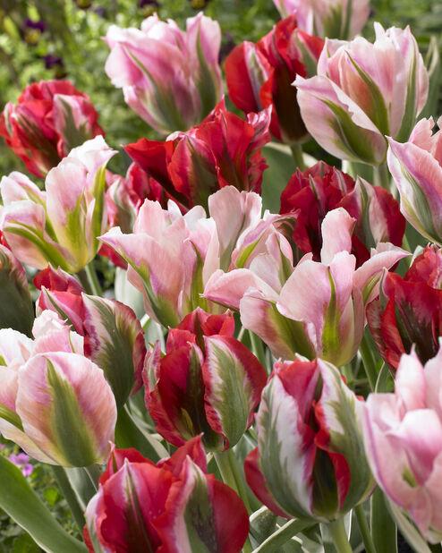 Tulppaanilajitelma Spring Fever, Monivärinen