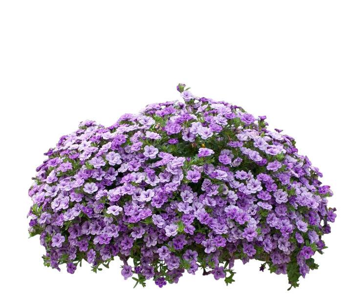 Calibrachoa Double fl. Blue h. basket 25 cm