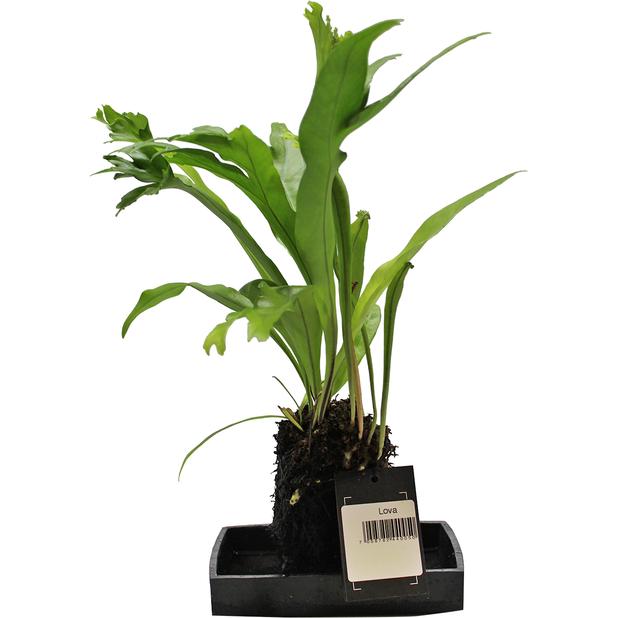 Lova-viherkasvi, Korkeus 35 cm, Vihreä