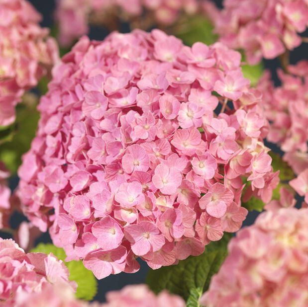 Jalohortensia, Korkeus 60 cm, Pinkki