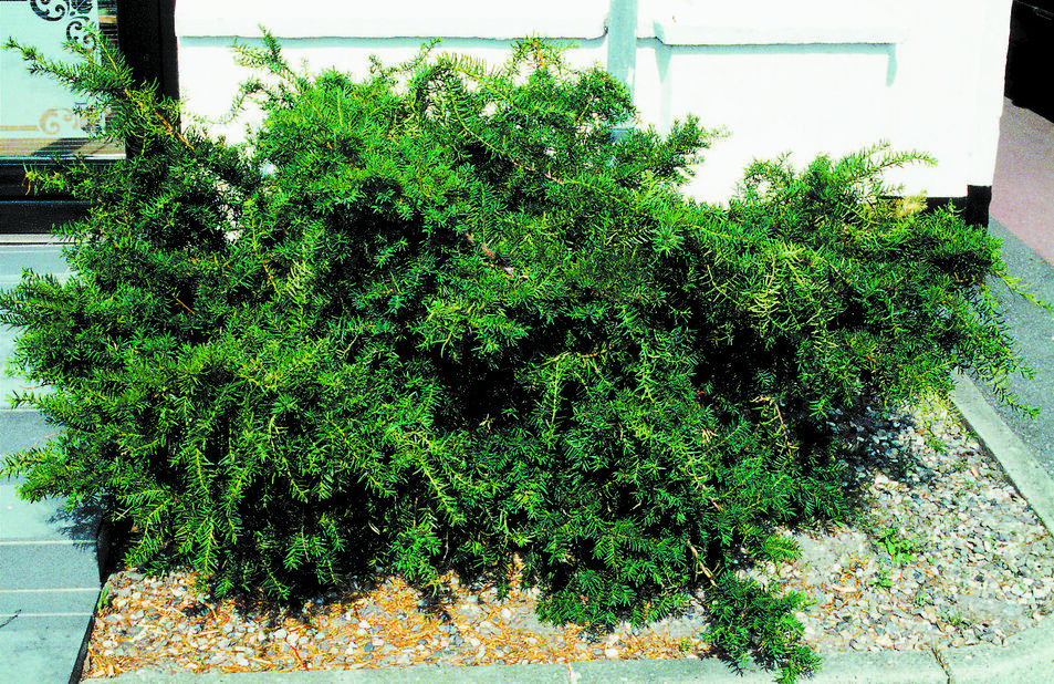 Euroopanmarjakuusi 'Repandens', Korkeus 30-40 cm, Vihreä