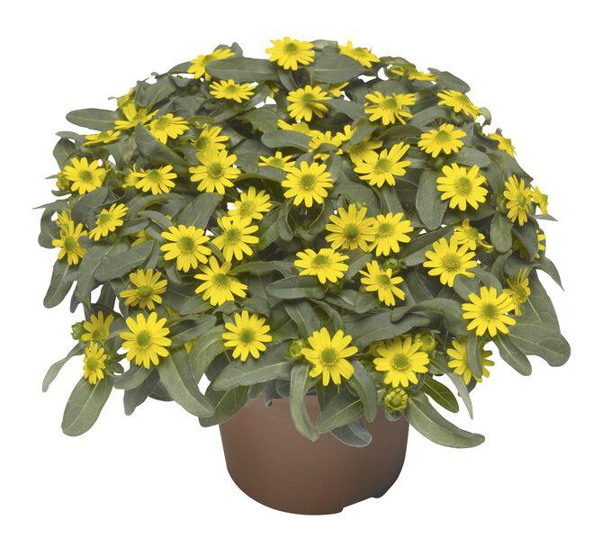Sanvitalia Yellow 12 cm