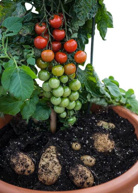 Potatom, Ø14 cm, Punainen