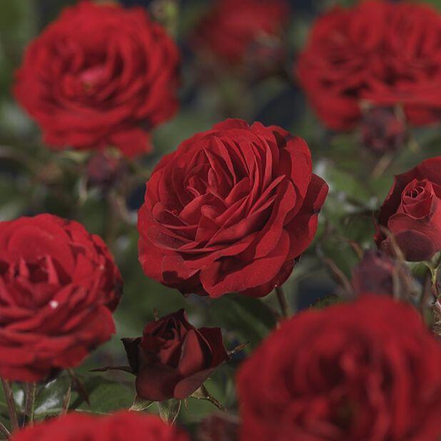 Rosa 'Europeana'
