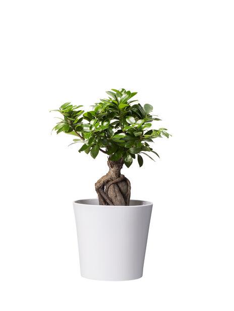 Varjoviikuna , Korkeus 40 cm, Vihreä
