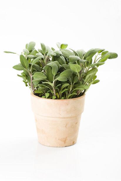 Salvia, Ø10.5 cm, Vihreä