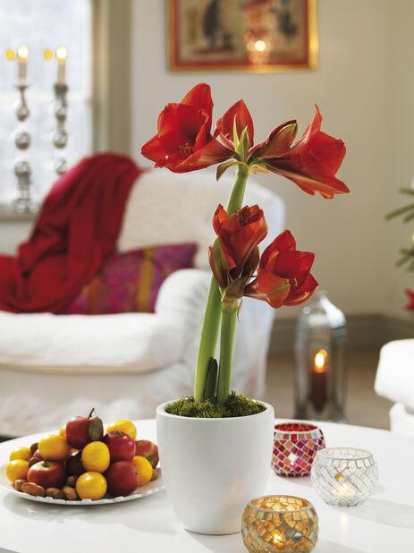 Kaksivanainen amaryllis, Ø13 cm, Punainen