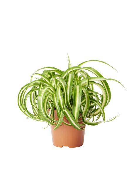 Rönsylilja, Korkeus 20 cm, Vihreä