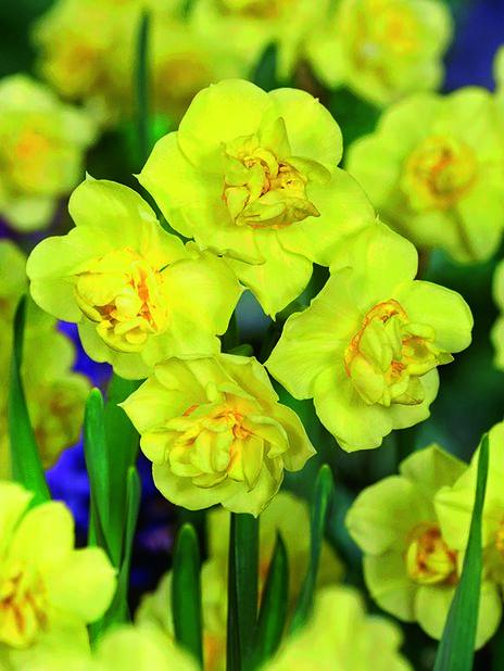 Narcissus 'Yellow Cheerfulness', Useita värejä