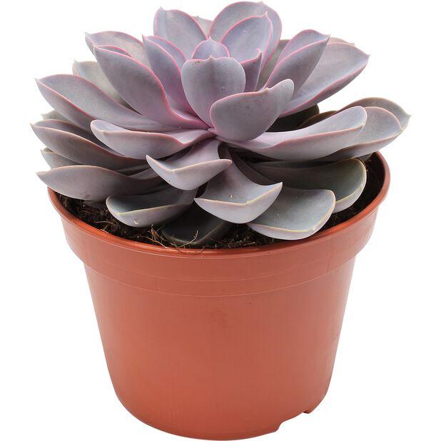 Mehiruusuke 'Purple Pearl', Korkeus 20 cm, Violetti