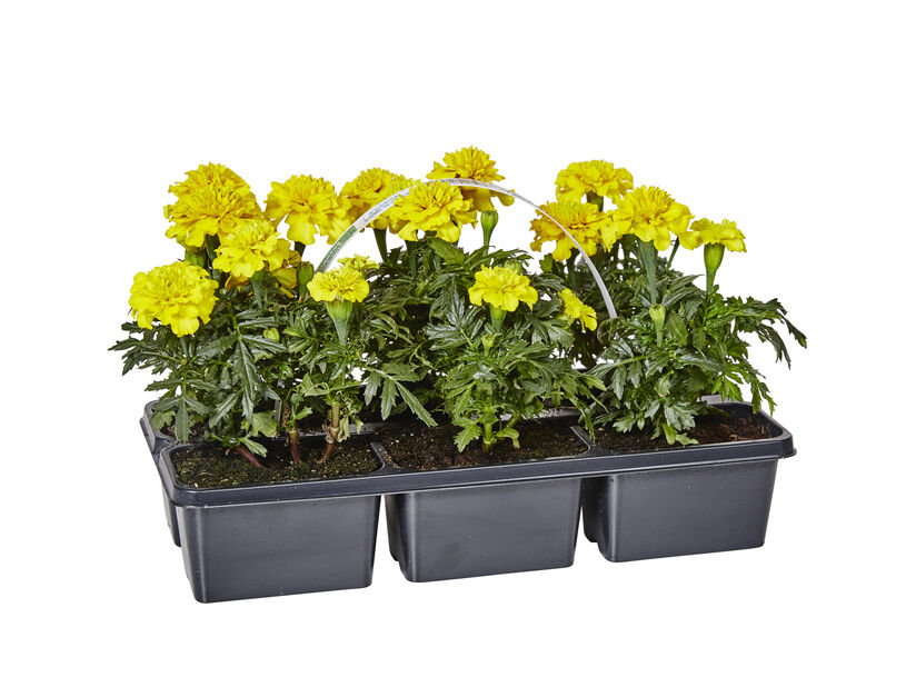 Tagetes Yellow 6-pack