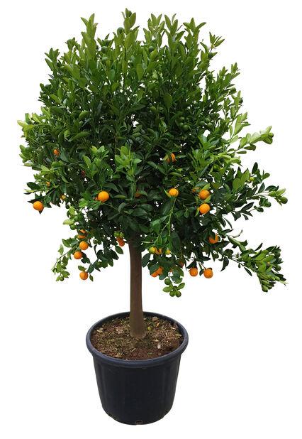 Rungollinen kääpiösitrus, Korkeus 160 cm, Oranssi