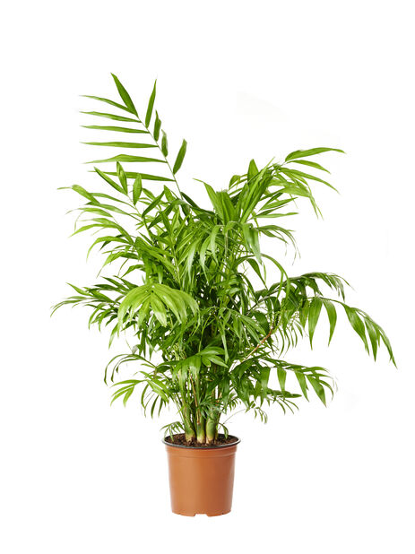 Sirovuoripalmu, Korkeus 90 cm, Vihreä