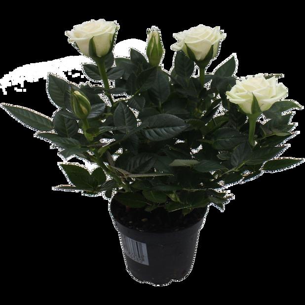 Rosa Kordana white 6 cm