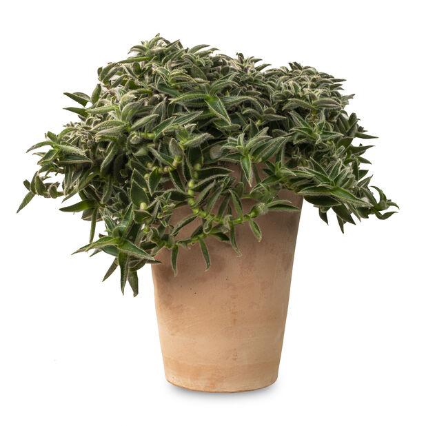 Kaktuslajitelma terrakottaruukussa, Korkeus 25 cm, Vihreä