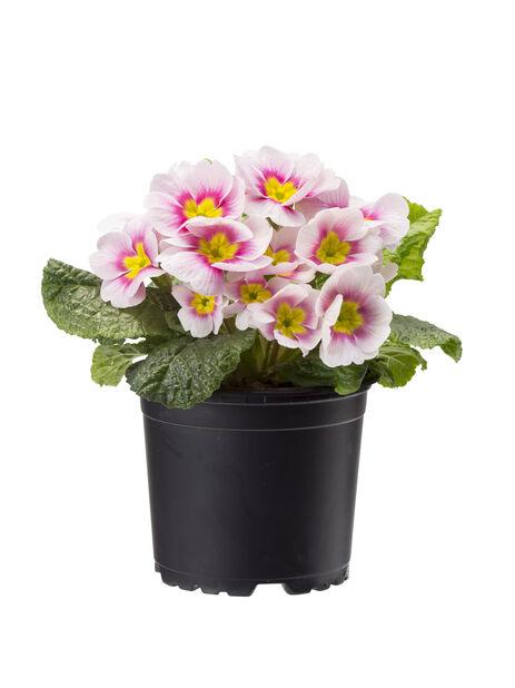 Kevätesikko 10 cm