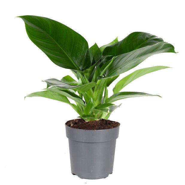 Köynnösvehka 'Imperial Green' , Korkeus 30 cm, Vihreä