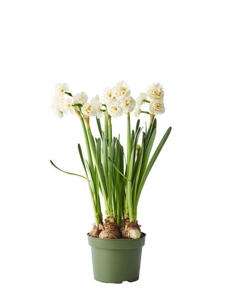 Narsissi 'Bridal Crown', Ø12 cm, Luonnonvalkoinen