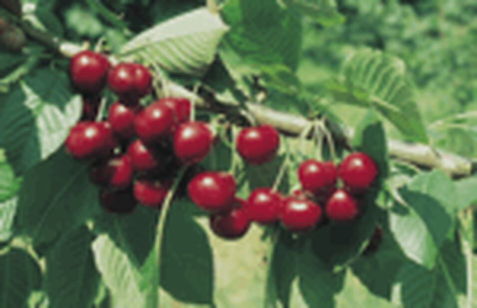 Kirsikka 'Huvimaja', Korkeus 180 cm, Punainen
