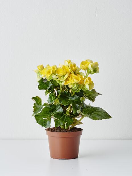 Begonia 12 cm keltainen